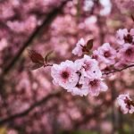 Pink Blossom and Boiling Wells